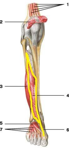 dlinnyj_razgibatel_bolshogo_palca_anatomia1