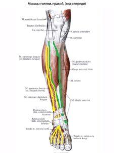 dlinnyj_razgibatel palcev anatomia uchit
