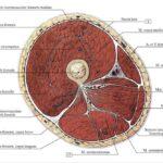 Анатомия мышц бедра. Часть 2