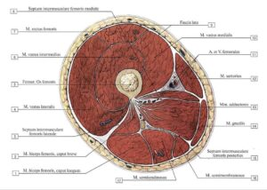 myshcy_bedra_anatomia_kak_uchit