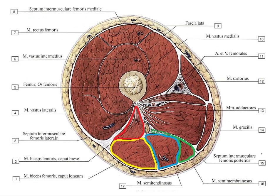 myshcy_bedra_anatomia_kak_uchit5