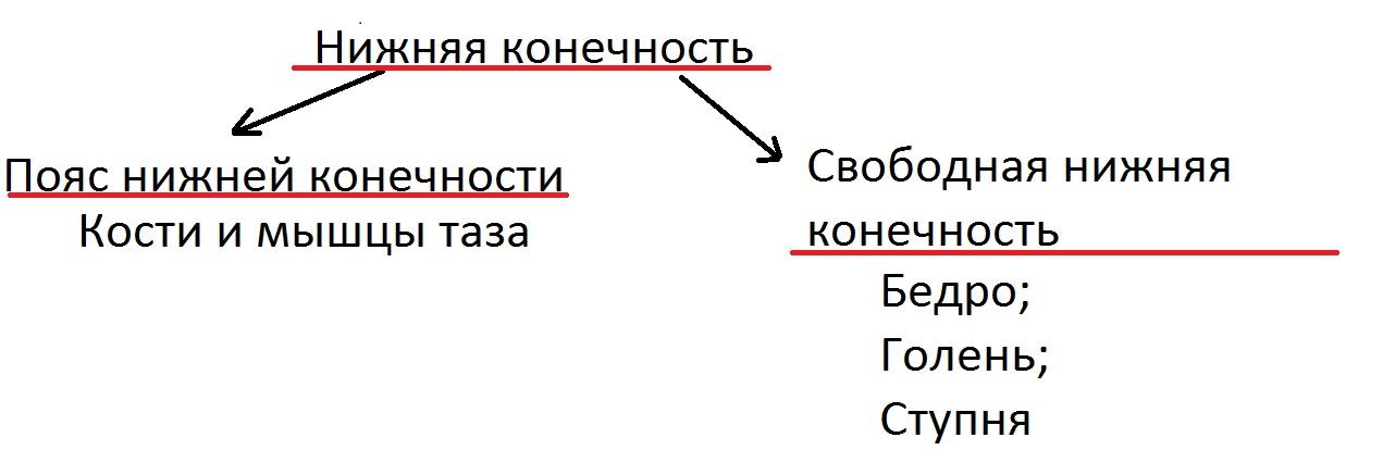 myshcy_bedra_anatomia_uchit