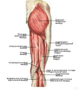 polupereponchataya_myshca_anatomia