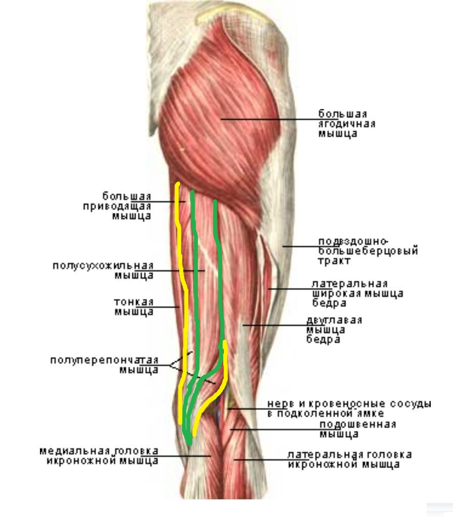 polupereponchataya_myshca_anatomia1