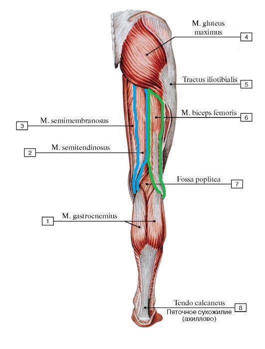 polusuhozhilnaya_myshca_anatomia