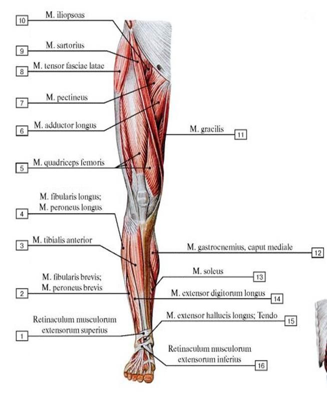 portnyagnaya_myshca_anatomia