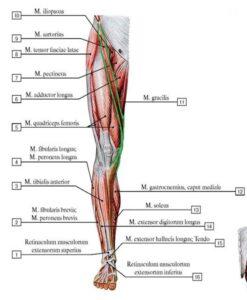 portnyagnaya_myshca_anatomia1