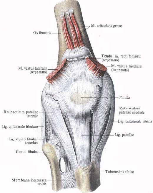 sustavnaya_myshca_anatomia