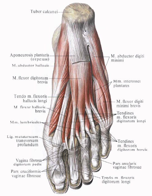 Anatomia_myshc_podoshvy