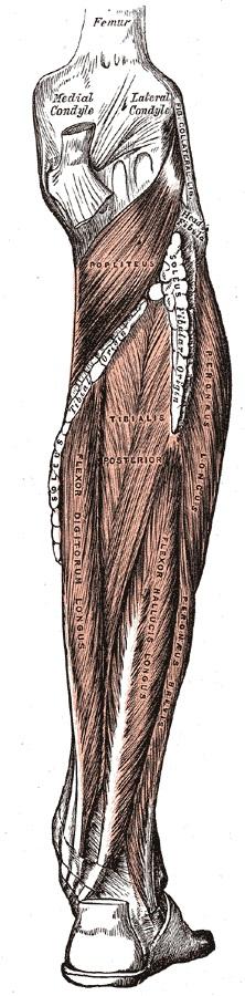 anatomia_dlinnoi_malobercovoj_myshcy
