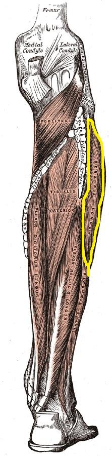 anatomia_dlinnoi_malobercovoj_myshcy_1