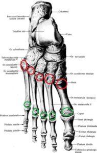 anatomia_kostej_plusny1