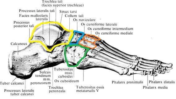 anatomia_ladievidnoj_kosti