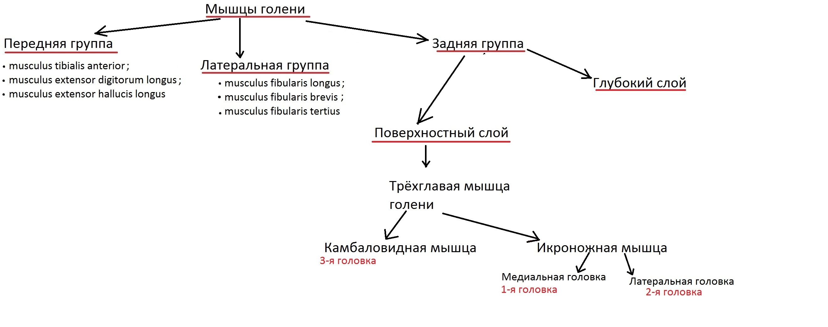 anatomia_myshc_goleni12