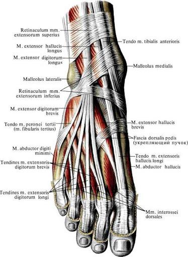 anatomia_myshc_razgibatelej