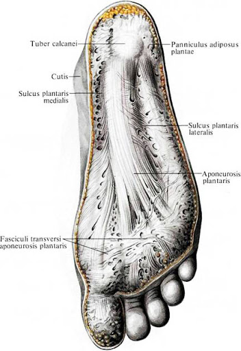 anatomia_podoshvennogo_aponevrosa