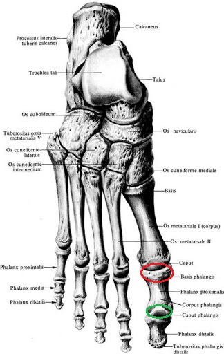anatomia_stopy_falangi
