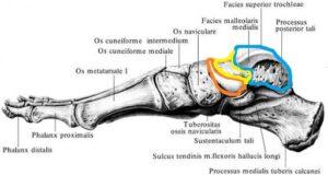 anatomia_tarannoj_kosti