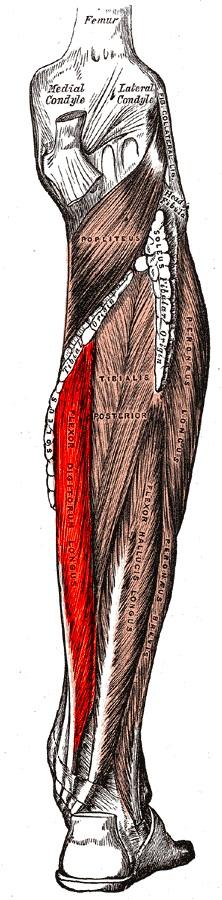 dlinnyj_sgibatel_palcev_anatomia1