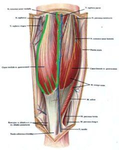 ikronojnaia_myshca - anatomia