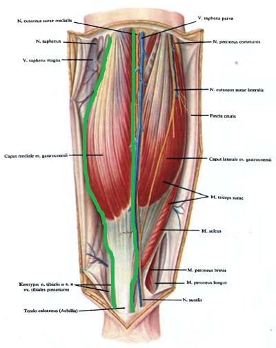 ikronojnaia_myshca - anatomia1