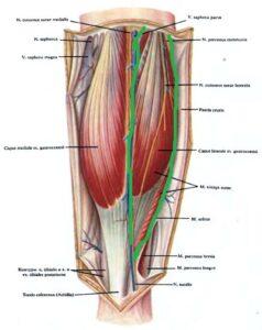 ikronojnaia_myshca - anatomia2