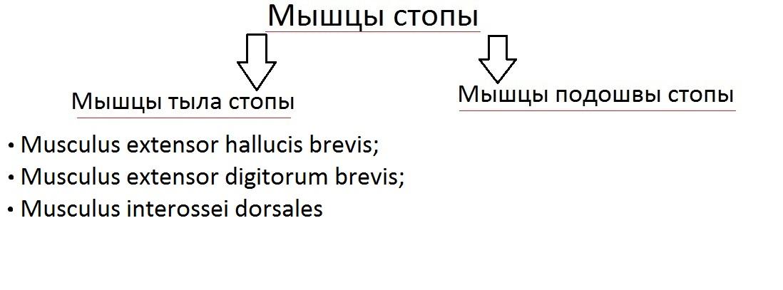 klassificatia_myshc_stopy2