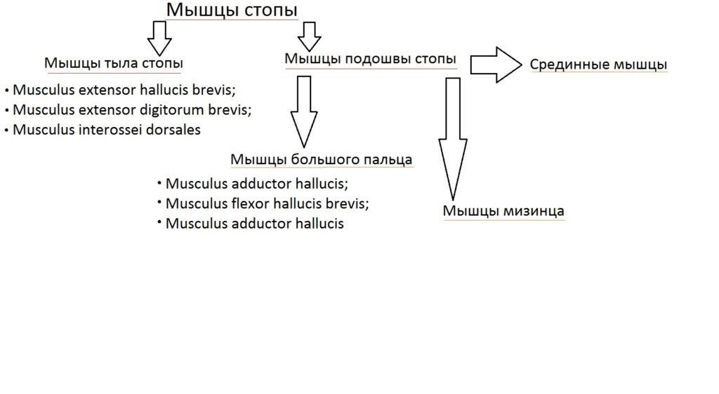 klassificatia_myshc_stopy5