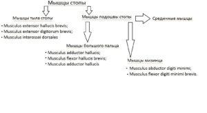 klassificatia_myshc_stopy6