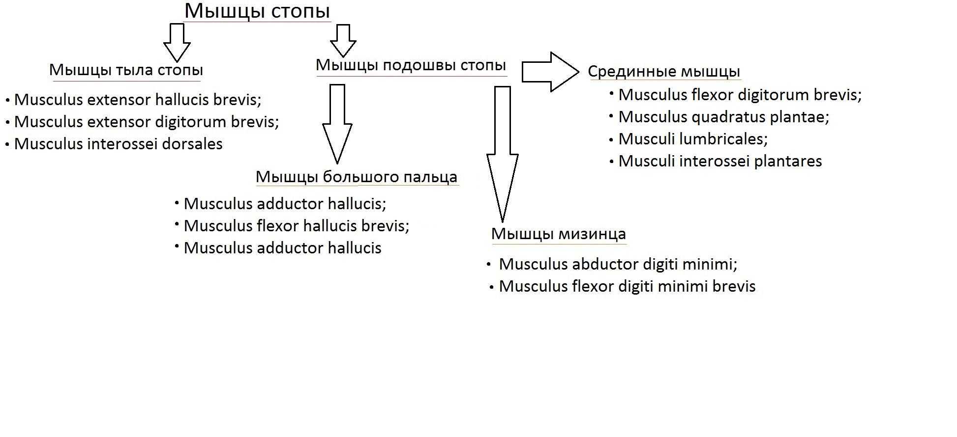 klassificatia_myshc_stopy7