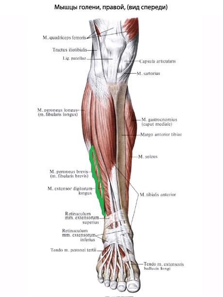 korotkaya_malobercovaya_myshca_anatomia
