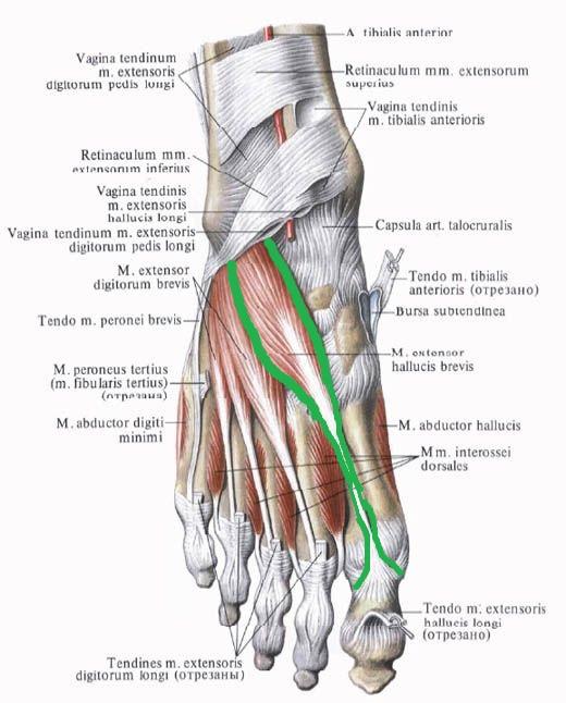 korotkyj_razgibatel_bolshogo_palca_stopy _anatomia
