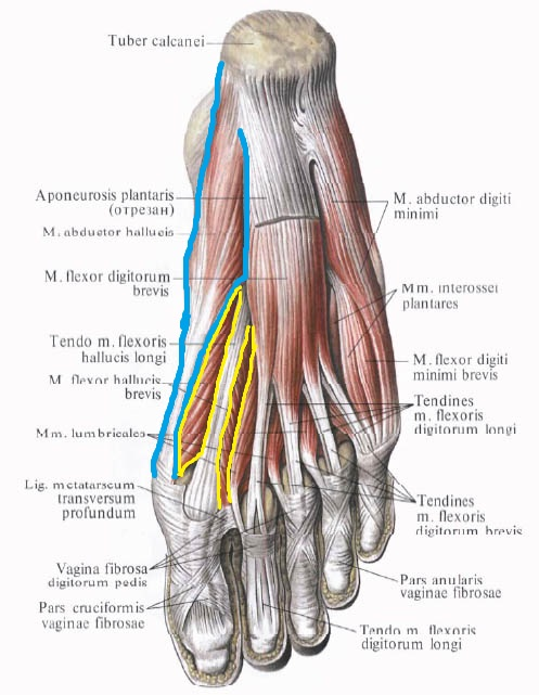 korotkyj_sgibatel_bolshogo_palca_anatomia