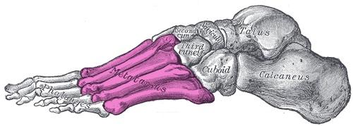 kosti_stopy_anatomia