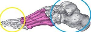 kosti_stopy_anatomia1