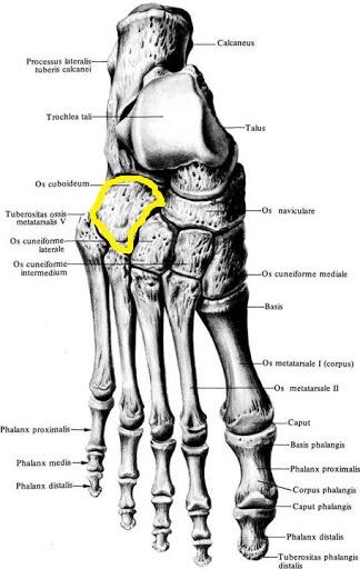 kubovidnaya_kost_anatomia