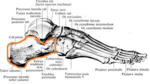 pyatochnaya_kost_anatomia