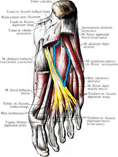 quadratnaja_myshca_podoshvy_anatomia