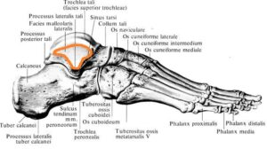 tarannaya_kost_anatomia lateralnaya_poverhnost