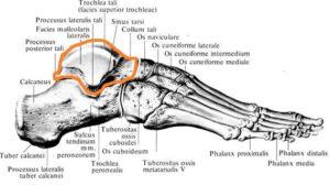 tarannaya_kost_anatomia1