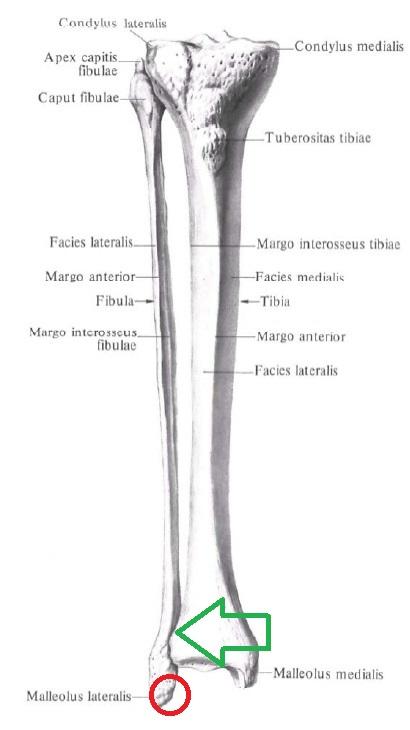 anatomia_malobercovoj_kosti 1