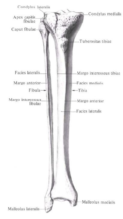 anatomia_malobercovoj_kosti