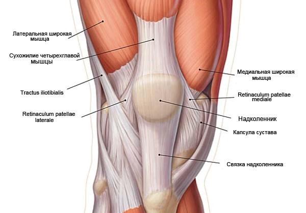 anatomia_nadkolennika2