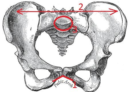 anatomia_taza_genshiny