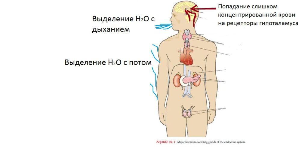 endokrinnyj_man