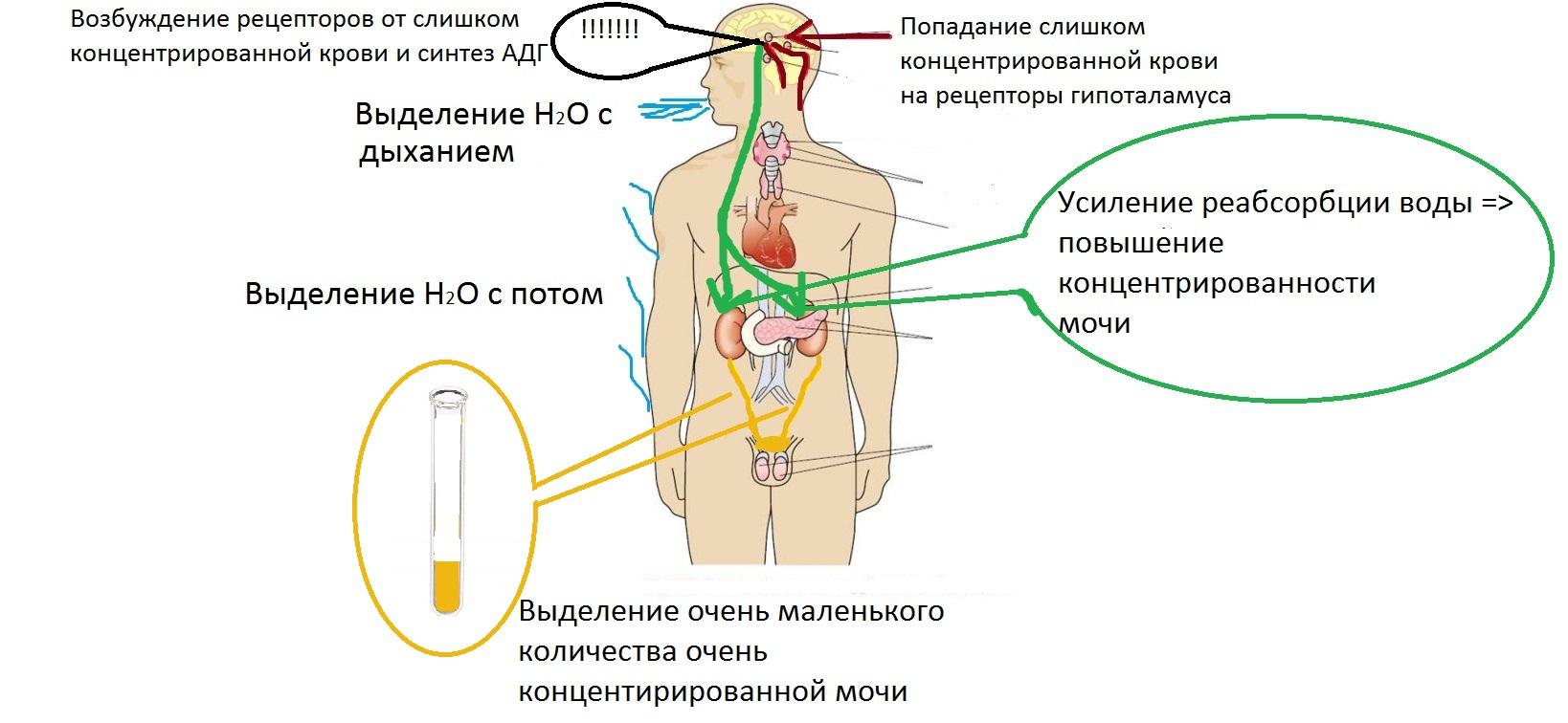 fiziologia_gipotalamusa_adg