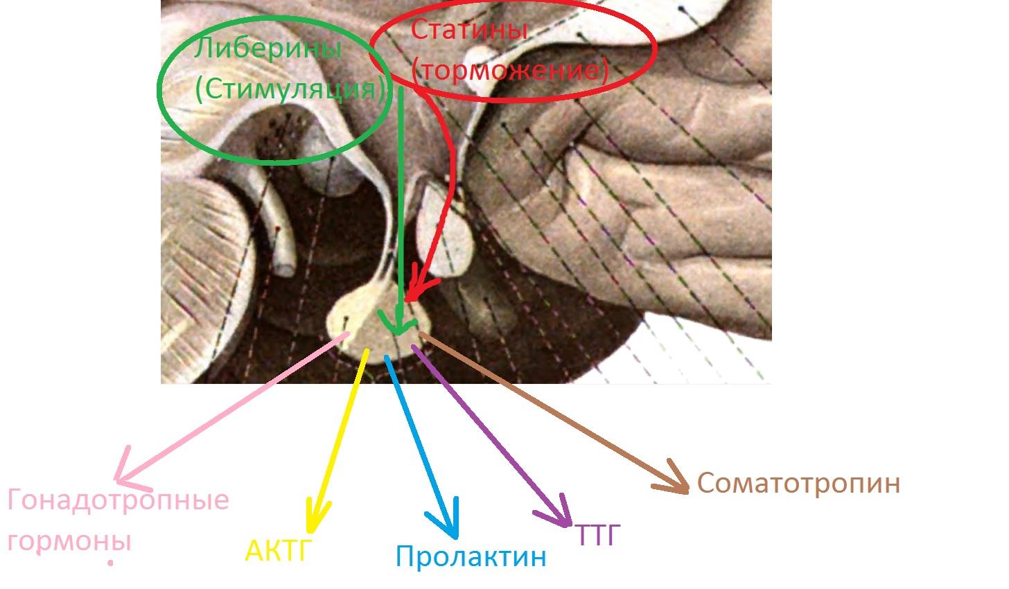 gipofiz_i_gipotalamus_fiziologia