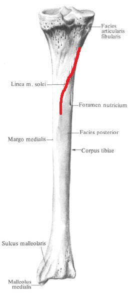 linia_kambalovidnoj_myshcy_anatomia