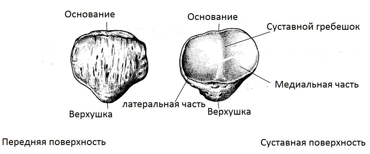 nadkolennik_normalnaya_anatomia