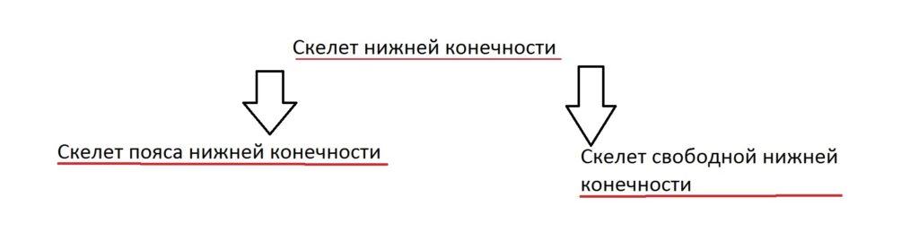 skelet_nijnej_konechnosti1